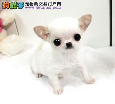 石家庄知名犬业繁殖出售超小吉娃娃 苹果头大眼睛