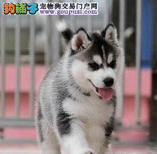 广州出售精品纯种哈士奇雪橇犬小哈幼犬品质保证签协议