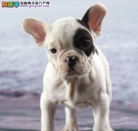 福州自家狗场繁殖直销法国斗牛犬幼犬可以送货上门2