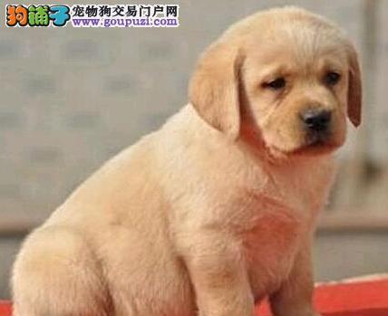 出售顶级优秀宁波拉布拉多犬 血统纯正有证书保证品质