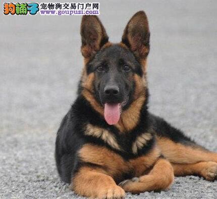重庆哪里有卖德牧 重庆什么地方有卖德牧