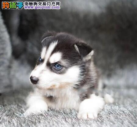 广州三火蓝眼哈士奇犬出售先检查确保健康签协议抱走