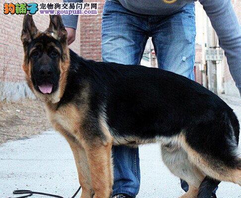 北京出售高品质锤系德牧宝宝赛级血统品相纯正确保健康