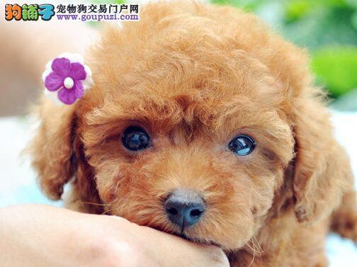 北京犬舍低价热销 泰迪犬血统纯正欢迎爱狗人士上门选购