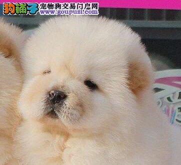 出售纯种松狮宝宝 健康可爱 质量有保证 可上门选购