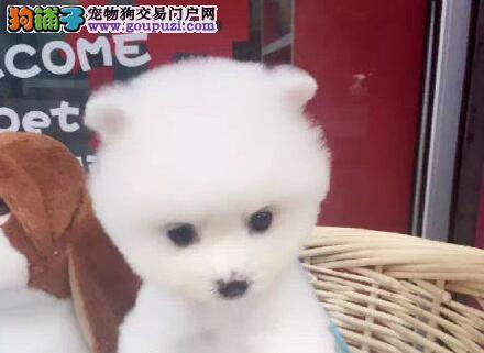 优秀哈多利版博美犬北京狗场转让 可空运可视频刷卡