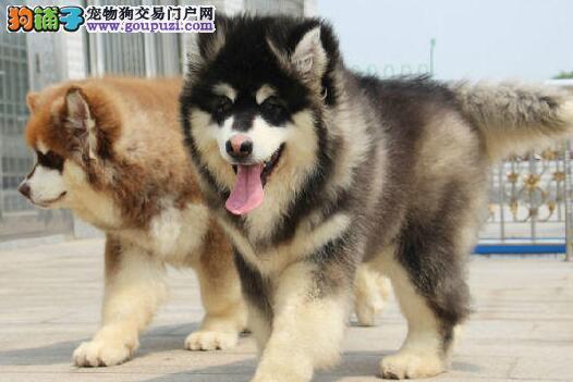 冠军级后代阿拉斯加犬、品质优良血统纯正、签署合同质保1