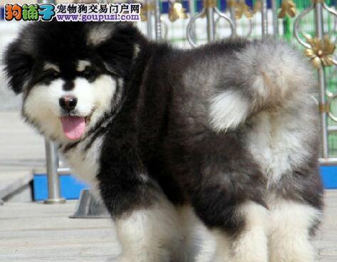 冠军级后代阿拉斯加犬、品质优良血统纯正、签署合同质保3