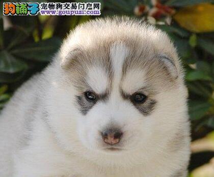 顶尖犬业直销纯种哈士奇 北京周边地区可免费送到家