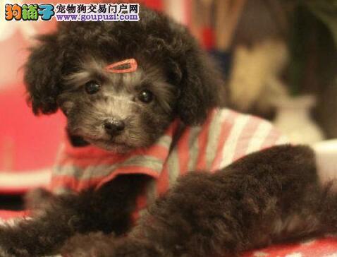 顶级贵宾犬宝宝,金牌店铺信誉第一,提供养狗指导