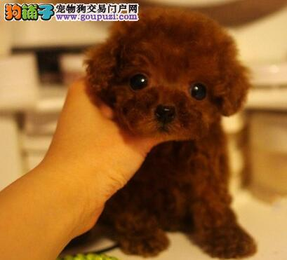 铜仁精品高品质泰迪犬宝宝热销中CKU认证绝对信誉保障
