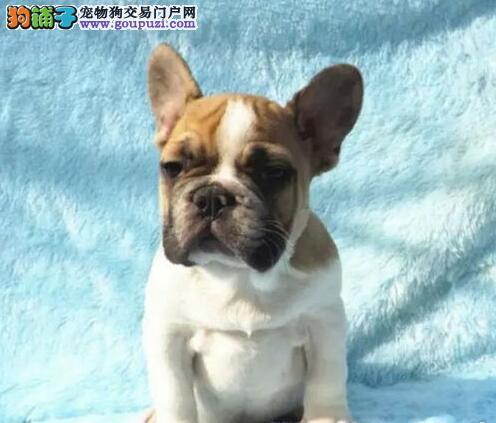 训练博美犬固定地方上厕所的方法5