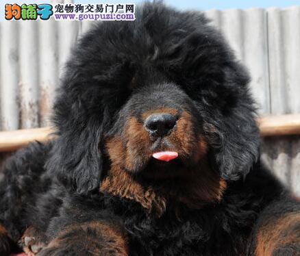 上海纯种大狮头藏獒红色铁包金 全国包邮可刷卡