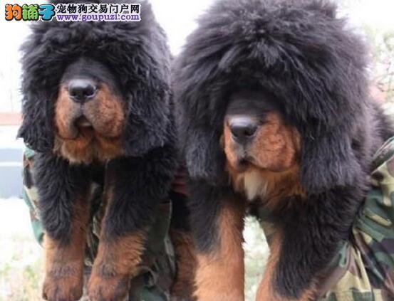 繁殖出售高品质的太原藏獒幼崽 有诚意的可上门看狗