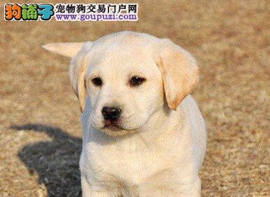 极品广州拉布拉多犬低价出售 多窝可供您挑选