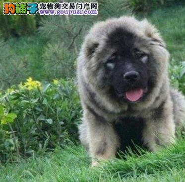 杭州犬舍护手顶级头版的高加索犬 驱虫已经定期做好