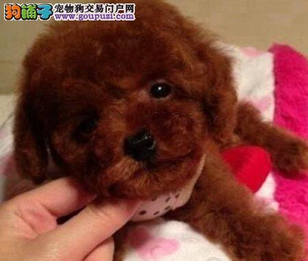 特价转让韩系血统长春贵宾犬 身体健康有保证有证书