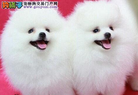 可爱纯种哈多利版广州博美犬直销 价格优惠保质量