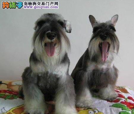 福州出售冠军血统优质雪纳瑞 签订协议 加微信看狗