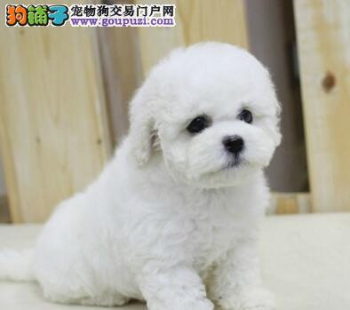 广州哪里有卖卷毛比熊犬 广州卷毛比熊犬一只多少钱