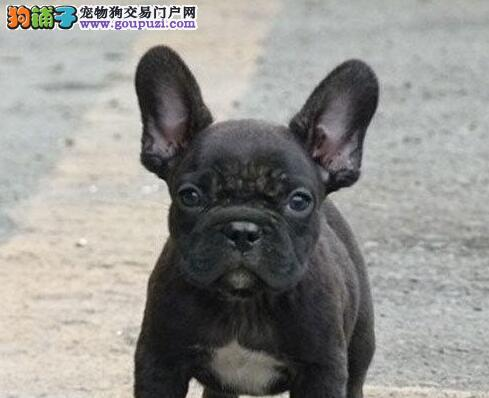 上海专业繁殖法国斗牛犬低价格出售 保纯种健康包养活