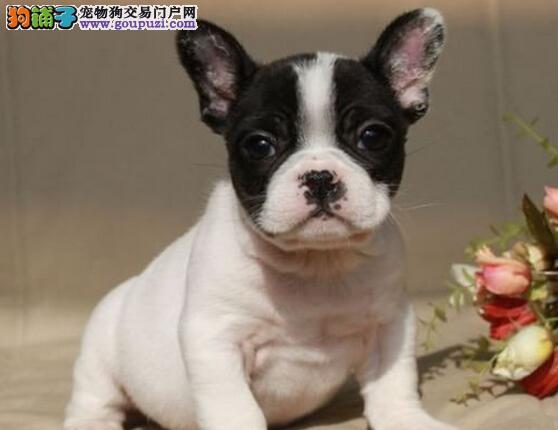 家养极品法国斗牛犬出售 可见父母颜色齐全以品质惊世人