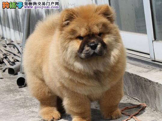 正规狗场促销纯种北京松狮犬质保出售图片