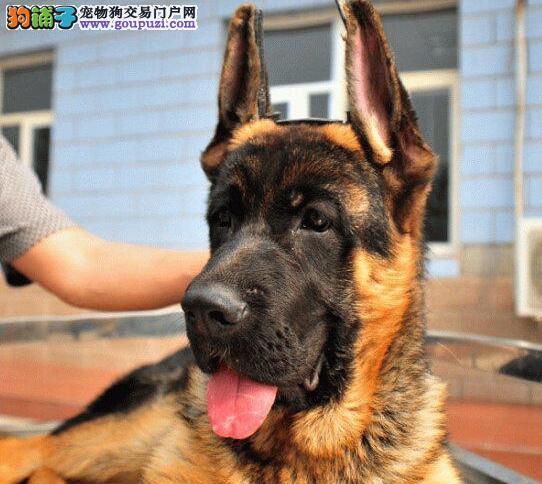 大连狗舍出售顶级德国牧羊犬赛级品质签合同