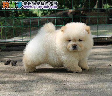 高品质大嘴紫舌松狮犬青岛自家犬舍繁殖现低价出售