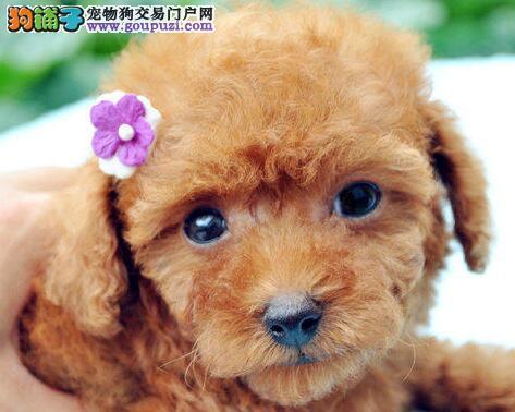 青岛狗场出售韩系血统泰迪犬 已做好进口疫苗和驱虫