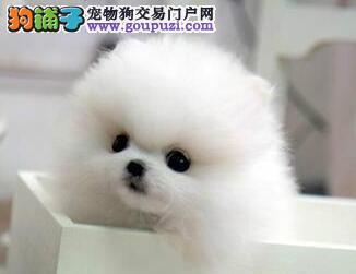 促销极品哈多利版博美犬 欢迎来青岛犬舍挑选购买4