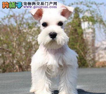 石家庄售雪纳瑞犬老头狗 小雪 疫苗已做 可视频看狗