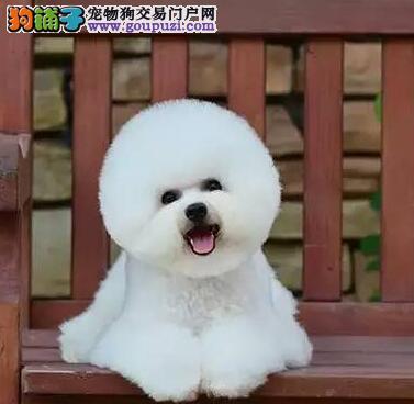 湛江出售纯种比熊犬幼犬 茶杯犬比熊 签订协议包活