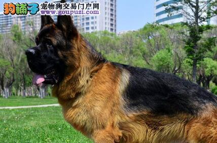 深圳买纯种顶级德国牧羊犬质保终身签合同可上门选