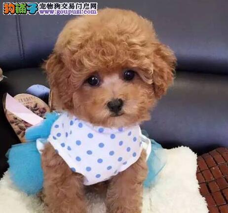 桂林名牌基地直销泰迪幼犬 建议大家上门看狗选购爱犬1