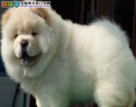 石家庄狗场专业繁殖健康的松狮犬 保证血统完美售后