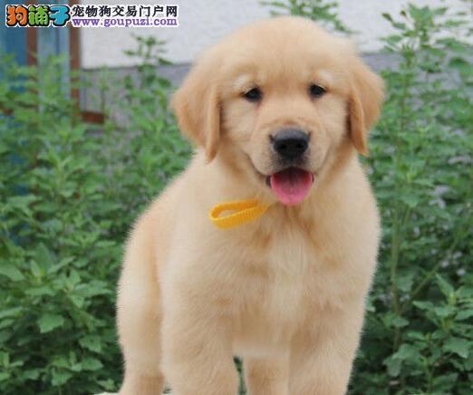 广州精品大头金毛幼犬聪明疫苗齐全本市可送货签协议