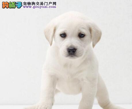 呼和浩特知名犬舍直销多只完美品相的拉布拉多犬