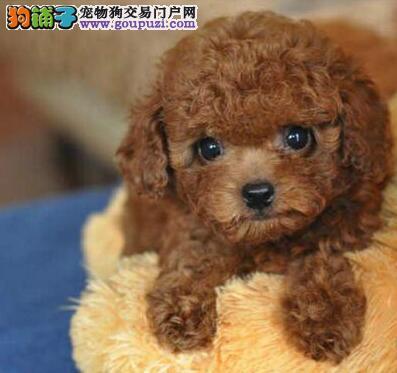 棕色的呼和浩特泰迪犬找爸爸妈妈 爱狗人士优先选购