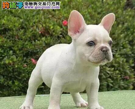 贵族纯正法国斗牛犬、品质第一价位最低、提供养狗指导