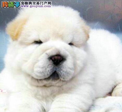CKU犬舍认证出售高品质厦门松狮价格低廉品质高
