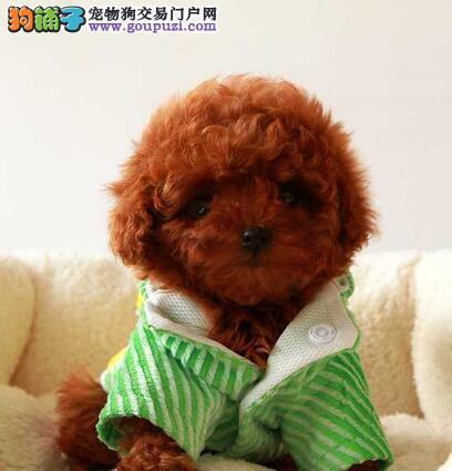 南昌正规犬舍出售六种颜色齐全的泰迪犬 可视频看狗