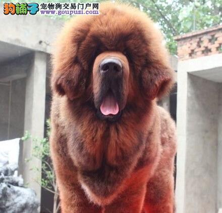 优惠价促销原生态藏獒 福州本地有实体店可视频看狗