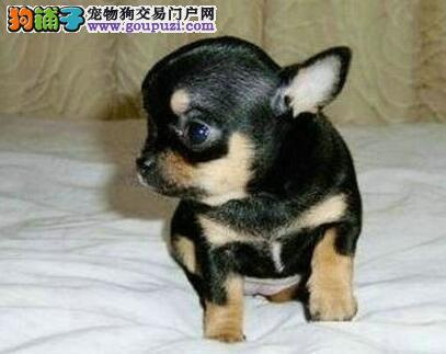 热销精品苹果头吉娃娃 来福州犬舍购买可赠送狗笼子