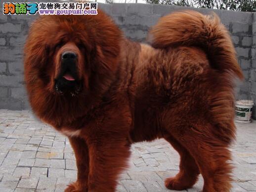 武汉小藏獒热销 价格实惠 骨量足毛量大 四肢粗壮硕大3