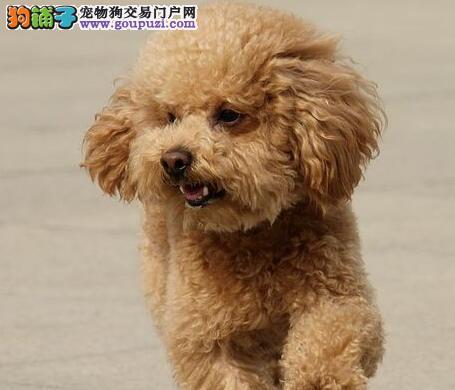 极品韩系南宁泰迪犬促销出售 有血统证书可上门挑选3