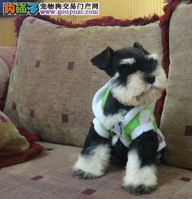 深圳专业犬舍哪里有卖椒盐色雪纳瑞 公母都有多窝可选