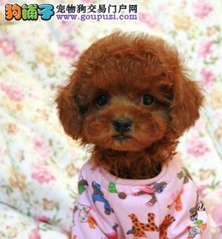 基地直销超可爱泰迪犬南昌地区购犬送用品3