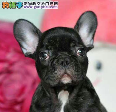 郑州犬舍低价热销 法国斗牛犬血统纯正可签订活体销售协议