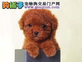 纯种韩国血统武汉泰迪犬低价促销 已做好防疫证明